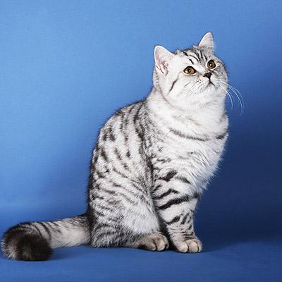 ผลการค้นหารูปภาพสำหรับ кошки с маленькими ушами